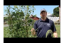 Introduction to Palmer Amaranth