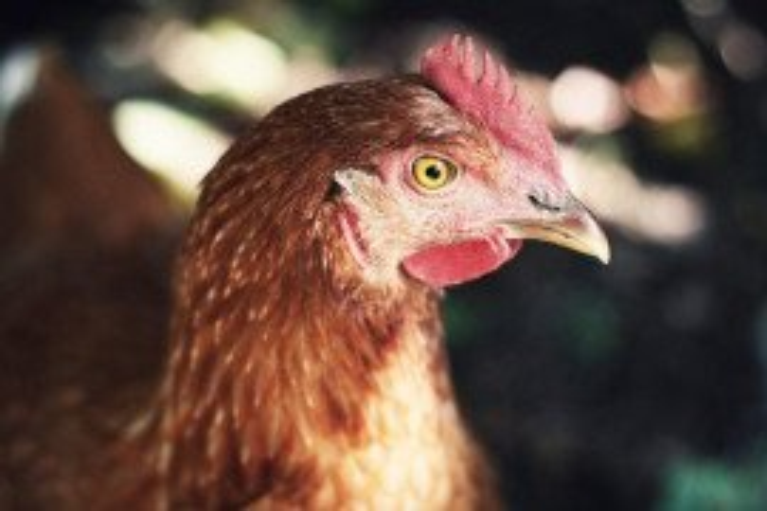 Poultry Health Handbook