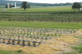 Catoctin Mountain Orchards using black plastic mulch and straw between rows.