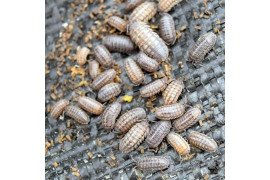 Sowbugs and pillbugs congregate in moist areas. Photo by Sinclair Adam.