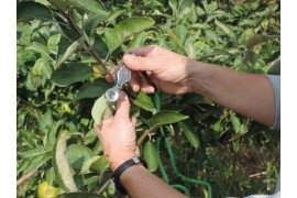 Orchard IPM - BMSB and Woolly Apple Aphid
