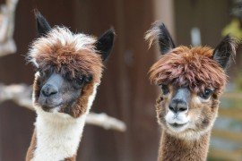 Copper Nutrition in Camelids