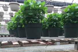 Keeping greenhouses free of weeds helps control diseases and insect pests.