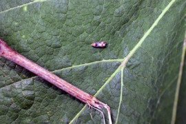 Figure 1. Grape Berry Moth adult on Concord leaf. Photo: Andy Muza, Penn State