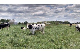 Dairy cows on pasture.