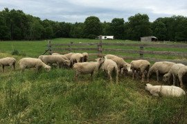 Successful sheep production in SW PA often takes advantage of pasture resources.