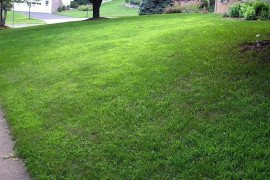 Crabgrass infested lawn. Photo: P. Landschoot, Penn State