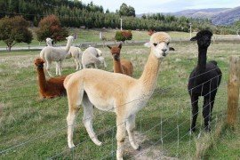 Therapy and Prevention of Hepatic Lipidosis in Llamas and Alpacas