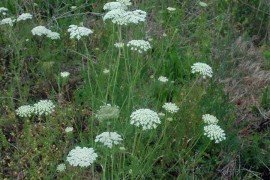 Photo: Chris Evans, University of Illinois, Bugwood.org, Queen Anne's lace, wild carrot, Daucus carota