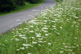 Queen Anne's Lace is commonly found along roadsides
