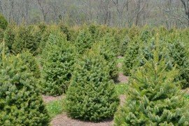 Christmas Tree Farm in Schuylkill County, PA.