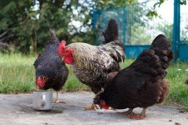 Poultry Production - Back to the Basics