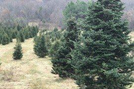 Christmas Tree Farm Photo credit: Penn State Extension Master Gardener Program