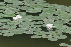 Aquatic Invasives and Water Gardens