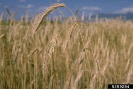 Cereal rye (Secale cereale)