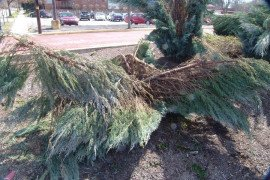 Snow damage on juniper. Photo credit Sandy Feather.