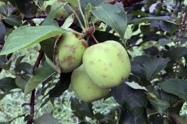Hail damaged apples which now have no value. Photo: Lynn Kime, Penn State
