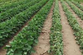 Dicamba tolerant soybeans on the left. Variety susceptible to Dicamba on right. Photo Credit: Nicole Santangelo