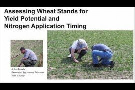 Assessing Wheat Stands for Yield Potential and Nitrogen Application Timing