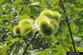 American chestnut. Photo credit: Richard Gardner, Bugwood.org, Creative Commons Attribution-Noncommercial 3.0 License