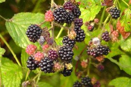 Home Fruit Gardens: Table 7.5. Pesticide Recommendations for Brambles