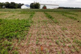 A field with and without a soybean burndown herbicide program. Photo: Dwight Lingenfelter, Penn State Weed Science