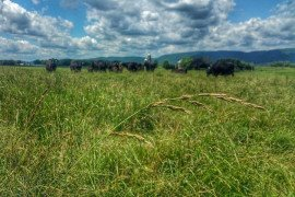 Ensuring optimum forage quality in both hay fields and pastures helps to ensure optimal animal performance. Photo by Jessica Williamson
