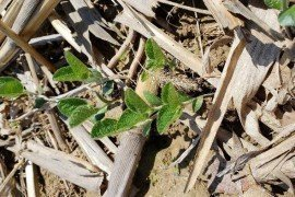Emerged no-till soybeans (D. Lingenfelter, Penn State Weed Science)