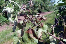 Scout for fire blight in your orchard. Photo: Kari Peter, Penn State