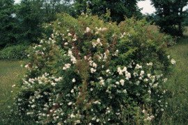Multiflora rose bush. Photo credit: Penn State Extension