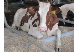 Red Holstein dairy cow