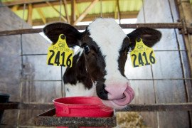 Antibiotic Stewardship: Can It Really Save Your Dairy Money?