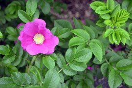 Rugosa flowers are not only attractive but they are fragrant and attract pollinators. Photo: Tom Butzler, Penn State