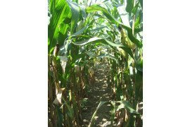 Early-season Corn Fungicide Considerations