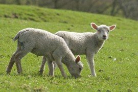 Spring Lamb Production