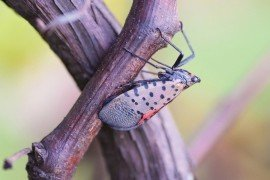 Spotted Lanternfly Grape Pest Alert