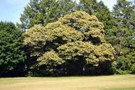 The Chinese chestnut tree in full bloom can be very attractive. Photo: Tom Butzler, Penn State