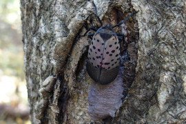 Report a Spotted Lanternfly Sighting