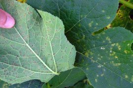 Downy mildew on pumpkin. Photo: Beth K. Gugino, Penn State