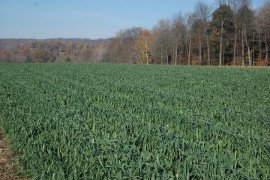 Beautiful oat cover crop in late fall. Photo credit W.S. Curran.