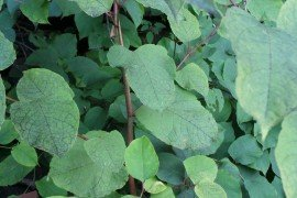 Master Watershed Stewards Tackle Japanese Knotweed at Environmental Center