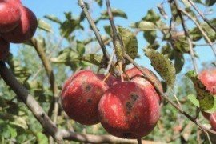 La roña de la manzana necesita material orgánico para invernar
