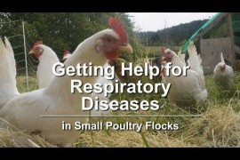 Getting Help for Respiratory Diseases in Small Poultry Flocks