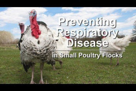 Preventing Respiratory Disease in Small Poultry Flocks