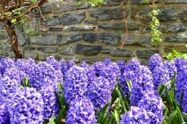 Hyacinth bulbs should be planted in fall. Photo credit: Hershey Gardens