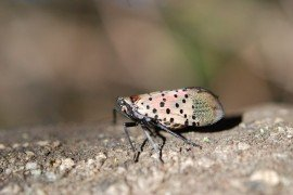 Avoid Home Remedies to Control Spotted Lanternfly