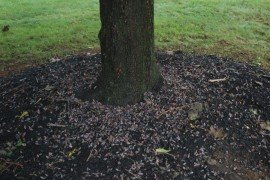 Dead spotted lanternfly at the base of a treated tree. Photo by Pennsylvania Department of Agriculture