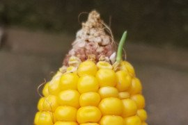A kernel on this ear has already sprouted as a result of wet conditions this growing season. Image Credit: Greg Roth