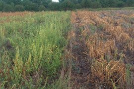 Palmer amaranth regrowth after crop harvest (Source: University of Delaware Weed Science)