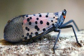 Does Your Business Need a Spotted Lanternfly Permit?